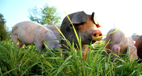 USWM Heritage Pork