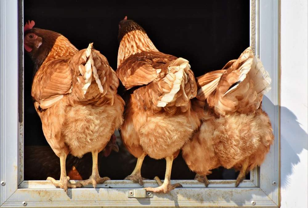 Big Chickens, Little Nutrition