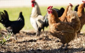 chickens, free-range, antibiotic-free