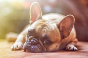 dog, laying down, puppy, pet care