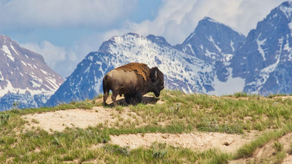 Bison Meat Nutrition