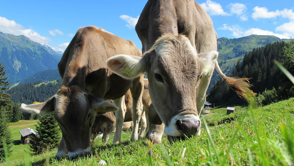 Grass-Fed Beef Benefits: Is Grass-Fed Really Better?