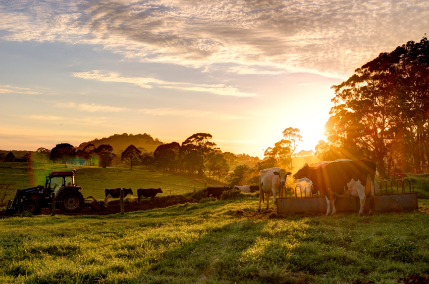 family farms, tractor and cattle in pasture