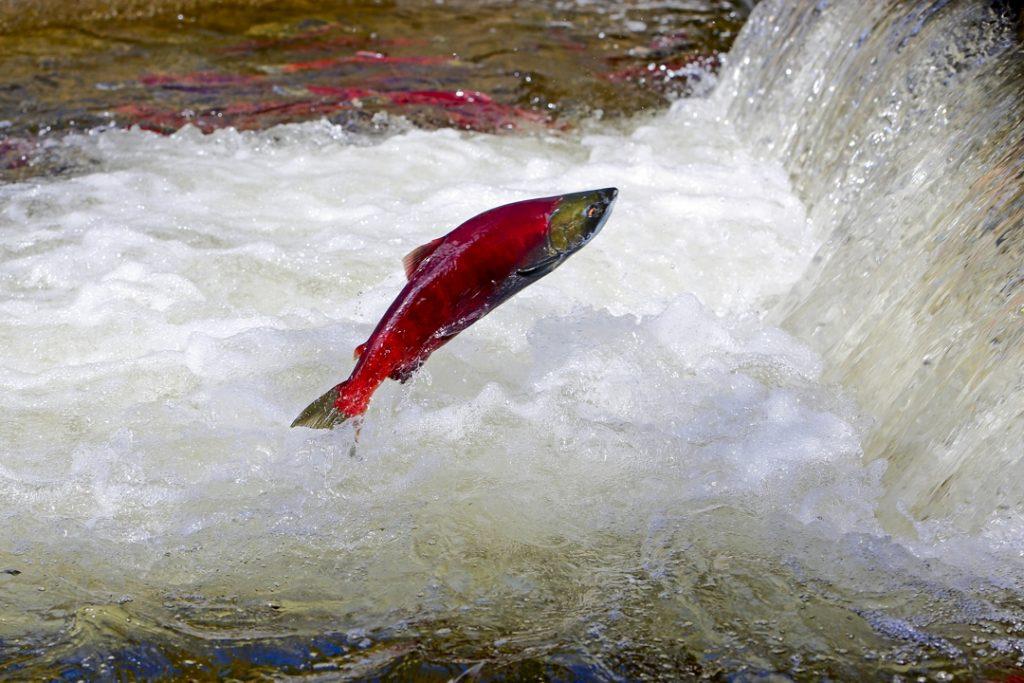 cold water fish, sockeye salmon jumping